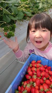 第33回イチゴ摘み採り体験(31.4.4)