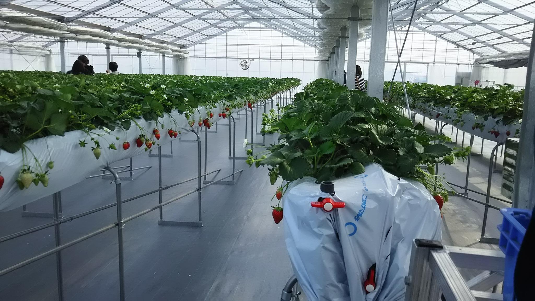 第5回イチゴ摘み採り体験(28.2.28)
