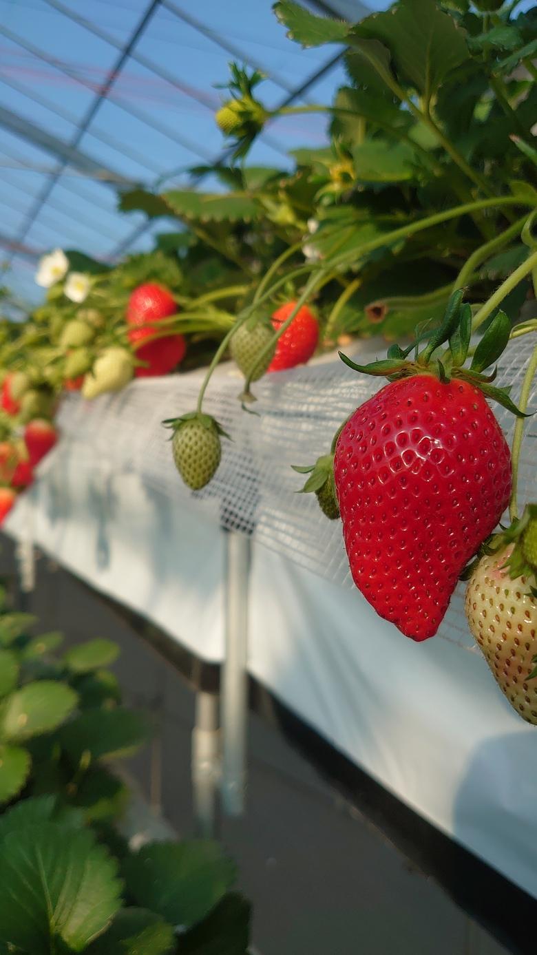 令和2第5回イチゴ摘み採り体験(2.2.11)