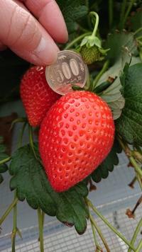 第39回イチゴ摘み採り体験(31.4.21)