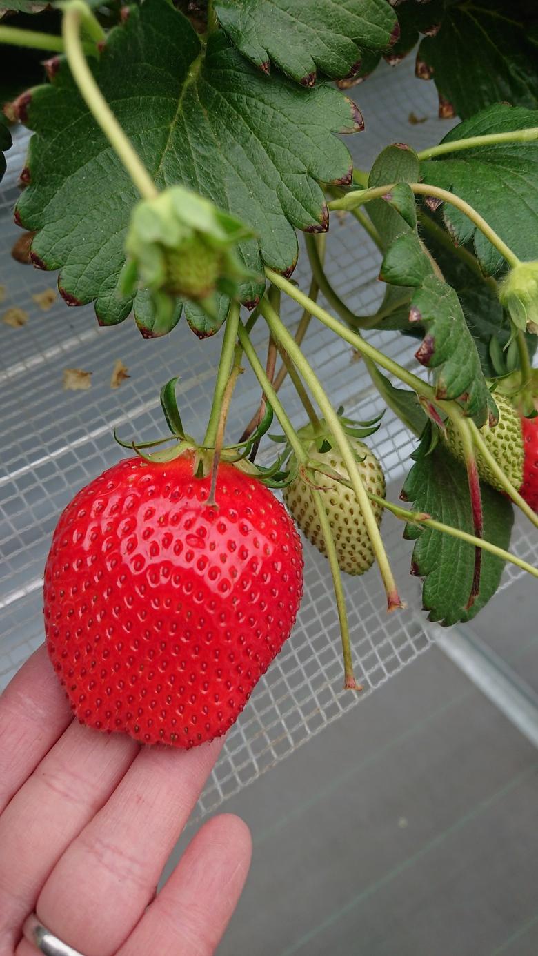 第37回イチゴ摘み採り体験(31.4.14)