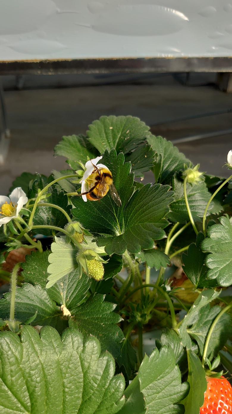 令和3年第7回イチゴ摘み採り体験(3.2.18)
