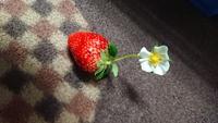 第40回イチゴ摘み採り体験(31.4.28)