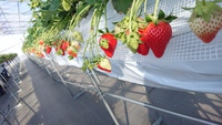 第9回イチゴ摘み採り体験(30.2.7)