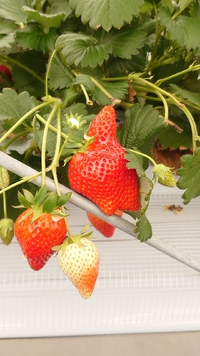 令和3年第12回イチゴ摘み採り体験(3.3.2)