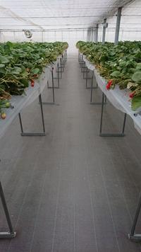 第36回イチゴ摘み採り体験(31.4.11)