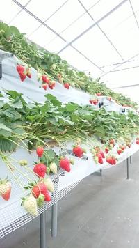 第25回イチゴ摘み採り体験(30.3.8)