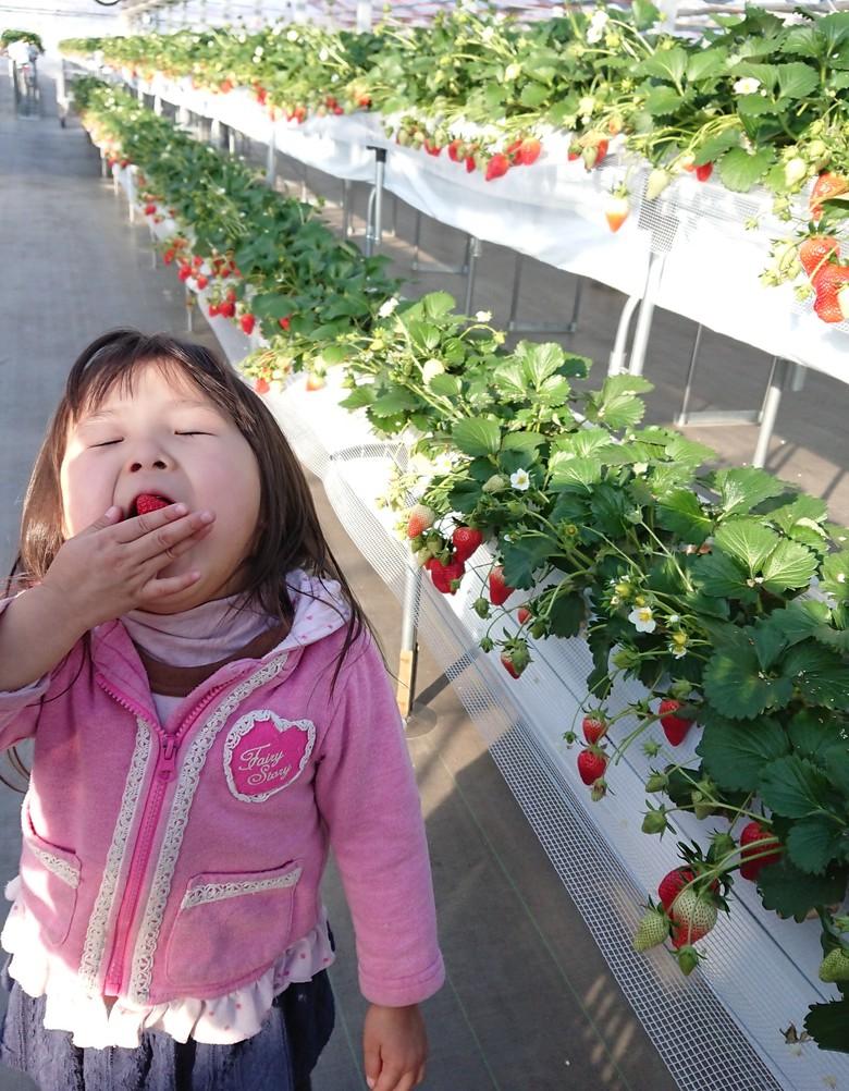 第6回イチゴ摘み採り体験(30.2.4)