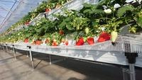 第3回イチゴ摘み採り体験(31.1.24)