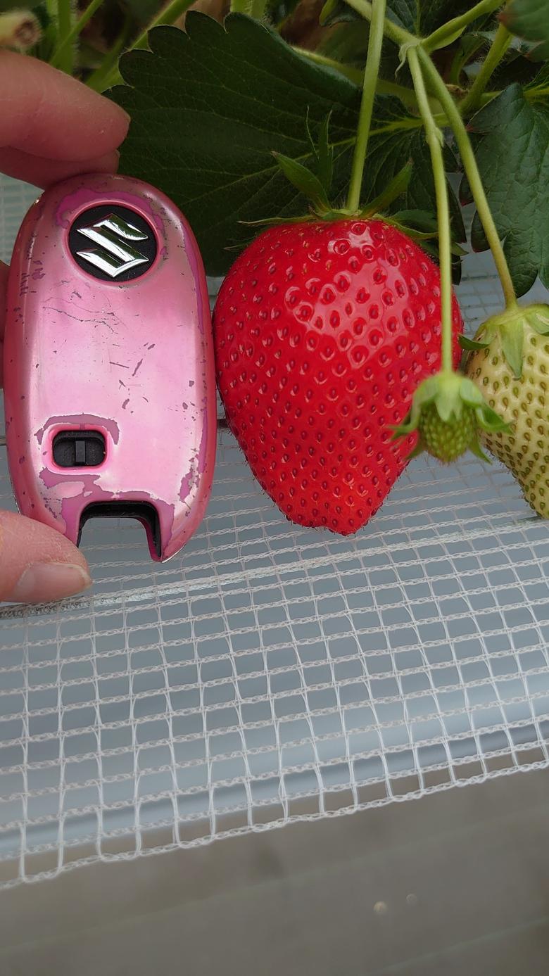 令和2第21回イチゴ摘み採り体験(2.3.17)