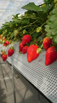 令和3年第10回イチゴ摘み採り体験(3.2.25)