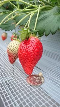 第2回イチゴ摘み採り体験(31.1.22)