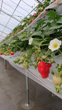 第6回イチゴ摘み採り体験(31.2.3)