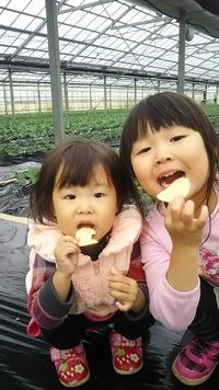 イチゴの苗植え、マルチ敷き終了