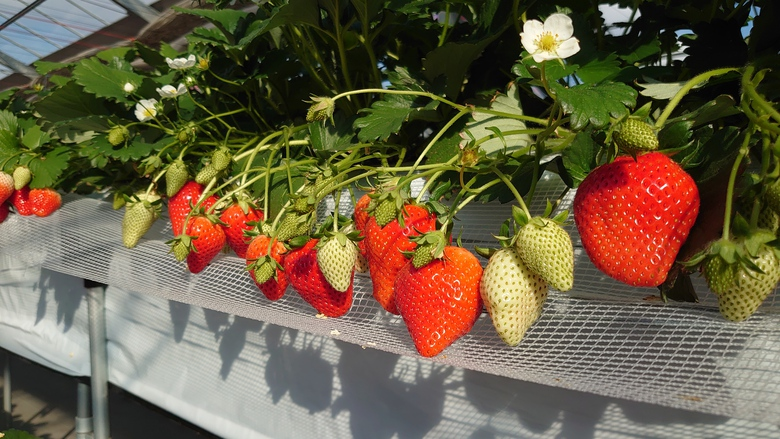令和3年第3回イチゴ摘み採り体験(3.2.9)