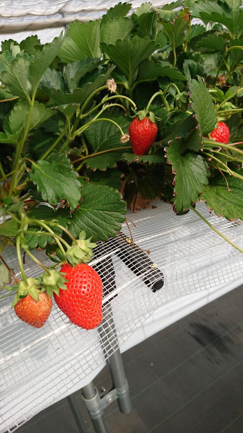 第44回イチゴ摘み採り体験(1.5.5)