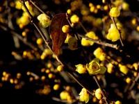 蝋梅の香り