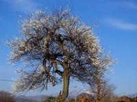 桜のような梅の樹