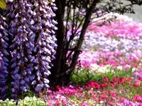 藤の花@ふじの咲く丘