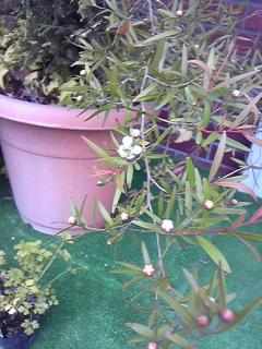 レモンティートリーの花♪