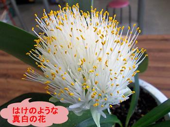 はけのような真白の花