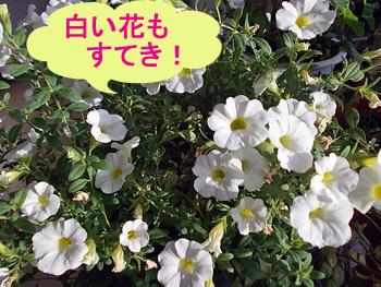白い花もすてき!