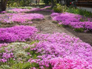 満開の芝桜 (^^♪