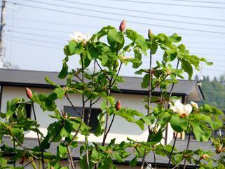 ほうの木の花