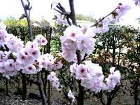咲いたよ、我が家の桜。。。♪