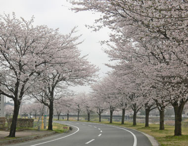 ~満開の桜~