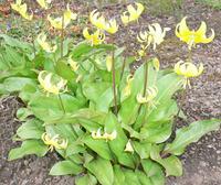 「黄カタクリの花」