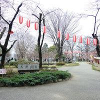 高崎城址お堀のソメイヨシノが咲き始めました。