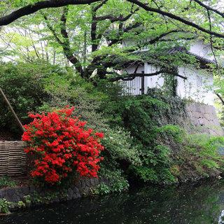 高崎城址のお堀のツツジ