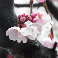 高崎市役所前のコヒガンザクラが開花し始めました。