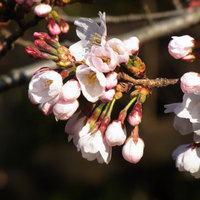 ソメイヨシノが開花したよ。 高崎公園