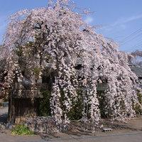 慈眼寺で枝垂れ桜を見てきたよ。