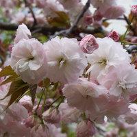 高崎城址公園の里桜たち
