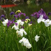 浜川運動公園 御布呂が池の花菖蒲