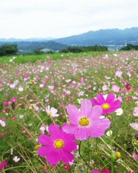 第15回 鼻高展望花の丘「コスモス祭り」♪