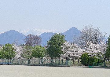 沼田市運動公園の桜 ♪