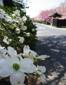 渋川市/白井宿の八重桜 ♪