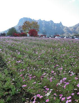 妙義山の紅葉とコスモス♪