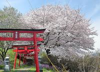 城山稲荷の桜♪