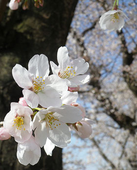 桜さんぽ♪