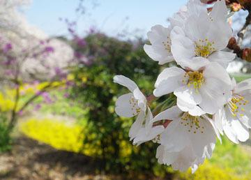 中後閑の桜並木♪