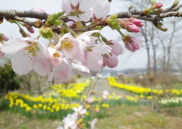 岩井親水公園(東吾妻町)の水仙と桜♪