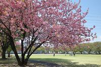 白井宿の八重桜2018♪