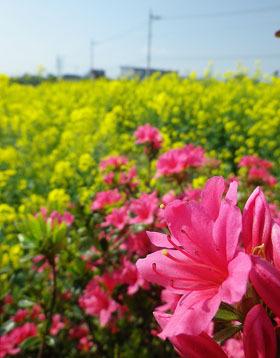 鼻高展望花の丘「菜の花祭り」2018 ♪
