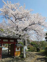 板鼻の桜 ♪