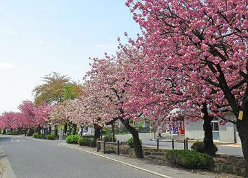 白井宿の八重桜2015 ♪